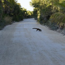 This mammal was running across the road with its family after checking that there were no cars. Truly amazing. I couldn't get my camera out fast enough to photograph the rest of the family.