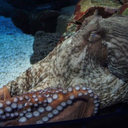 Giant Pacific Octopus, the largest species of octopus in the world.
