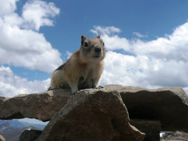 Relentlessly stealing our food at the top of the Avalanche Trail in Yellowstone.