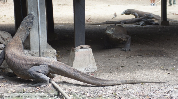 Komodo Dragons 6