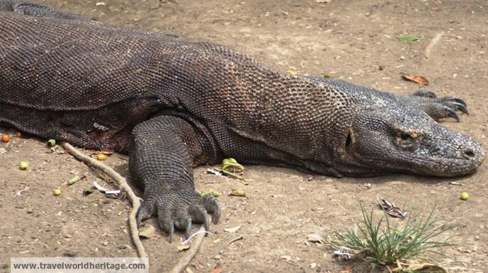 Injured Komodo Dragon