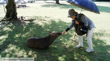 Keiko tries to feed deer in Nara, Japan.