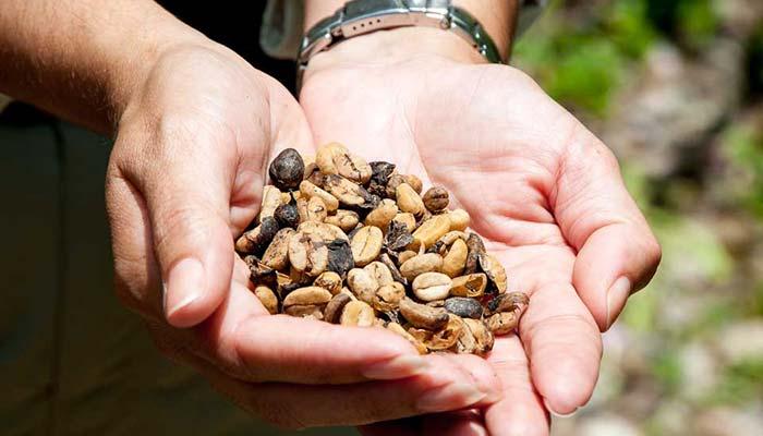 Puerto Rico coffee beans