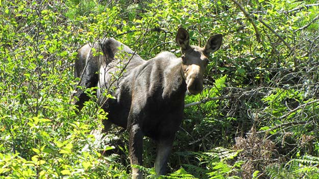 A moose checks us out at Coeur d'Alene in Northern Idaho