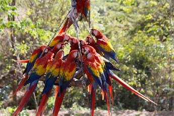 Costa Rica-14 macaws at feeder