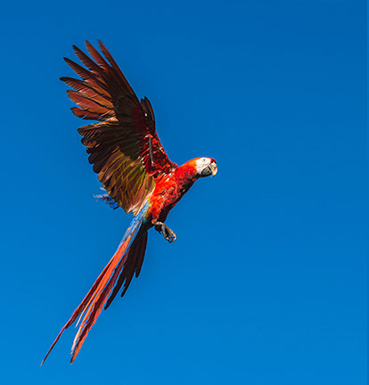 Costa Rica-one macaw on blue sky