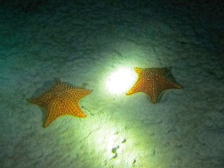 Cushion Stars. Photo Credit: Debbra Dunning Brouillette