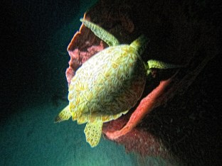 Night Dive: A green turtle sleeps inside a large barrel sponge. Photo Credit: Debbra Dunning Brouillette