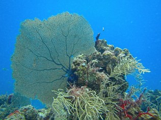 Sea Fan Coral Reef. Photo Credit: Debbra Dunning Brouillette