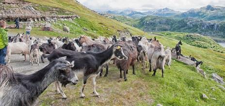 Lofoten Islands: Herd of goats crosses the road during our bus journey. Photo credit: Jennifer Crites