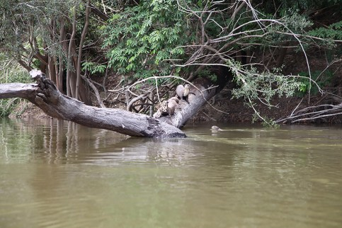 Endangered Giant River Otters are a common sight. Photo Credit: Jeffrey Lehmann