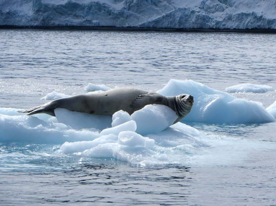 Lazy walrus. Photo Credit: Deborah Stone
