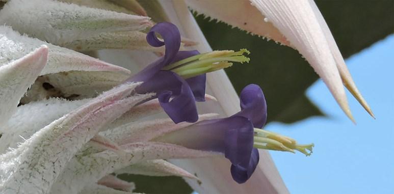 A rare bromeliad, Ursulaea macvaughii in bloom. Photo: Neil Gerlowski