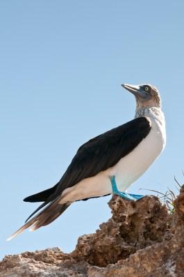Blue-footed Booby (Sula nebouxii), Isla Marietas National Park (Parque Nacional Isla Marietas) a UNESCO Biosphere Reserve, Puerto Vallarta, Mexico.