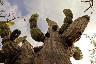 Baja Sur Cactus