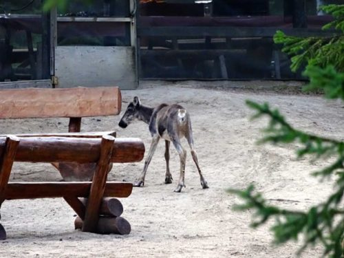 Caribou in zoo camp
