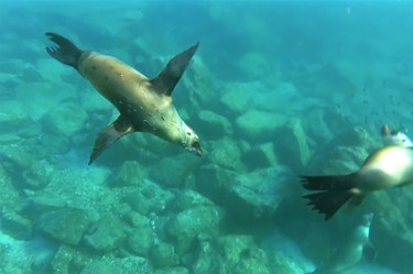Two sea lions swimming in the Sea of Cortez