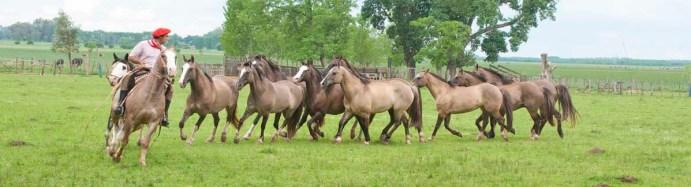 Gaucho demonstrates a follow horse method of roundup at a San Antonio de Areco Ranch
