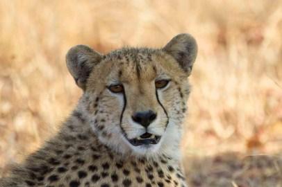 Cheetah (photo by Tom Schwab)