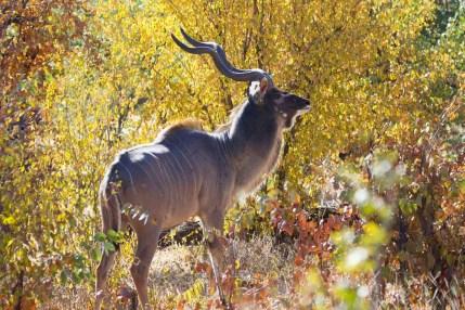 Male Kudu (photo by Tom Schwab)