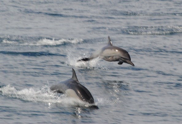 Dolphins love to race the boats and show off their incredible speed. Photo by Deborah Stone