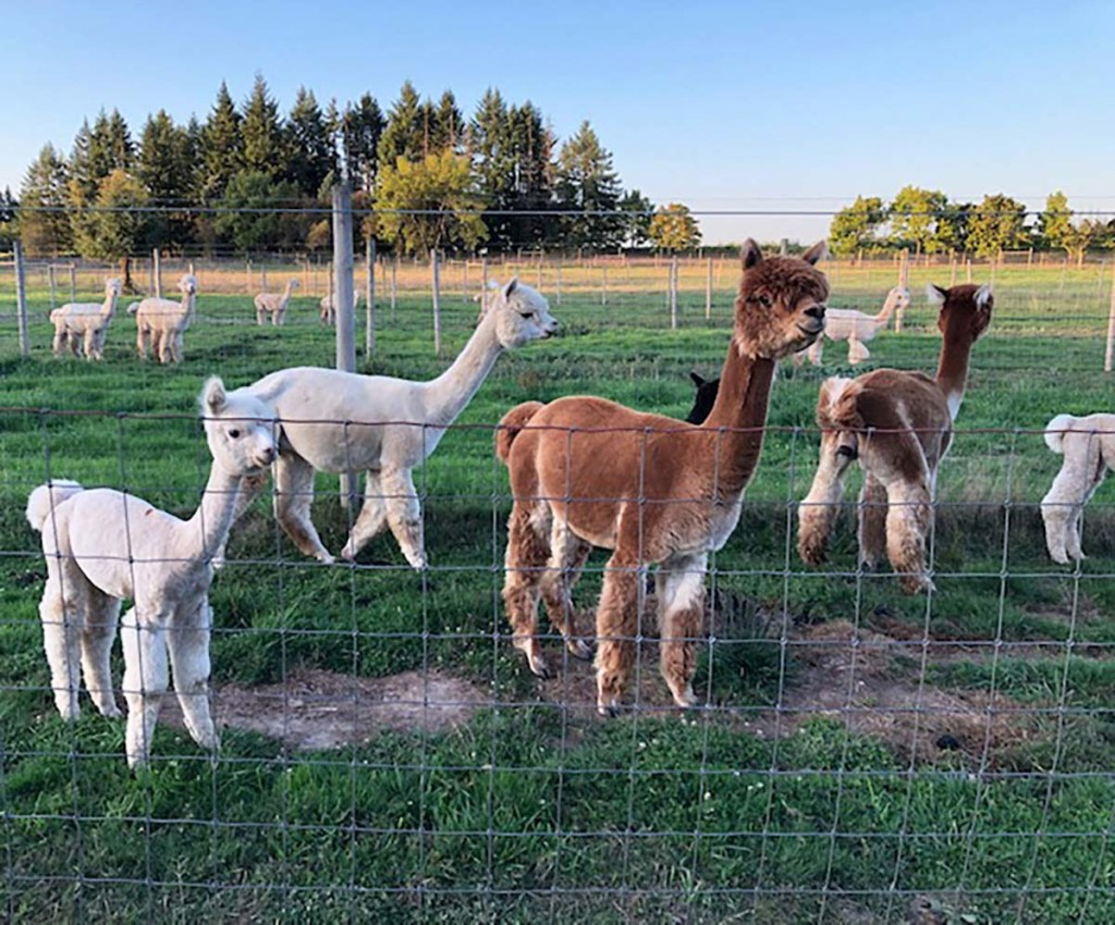 The-Alpacas-of-Marquam-Hill-Ranch