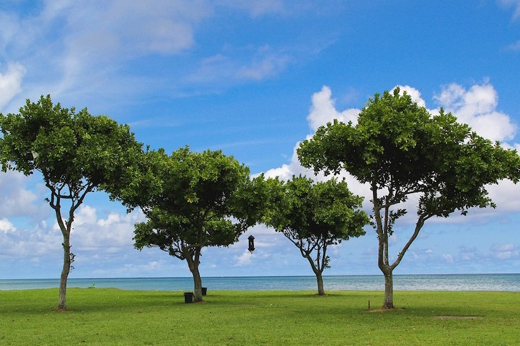 Hawaii trees