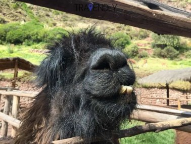 Silly llama begging for some food at the sanctuary