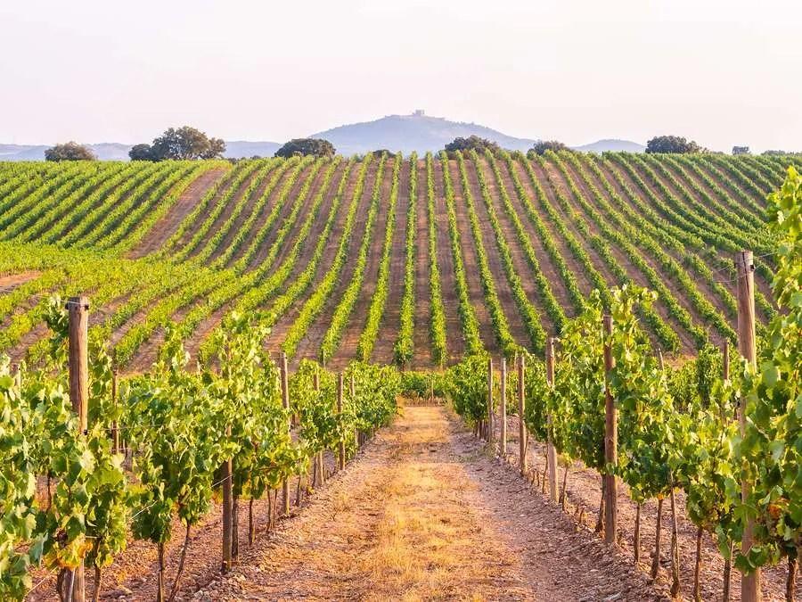 Beautiful vineyard in Alentejo Portugal