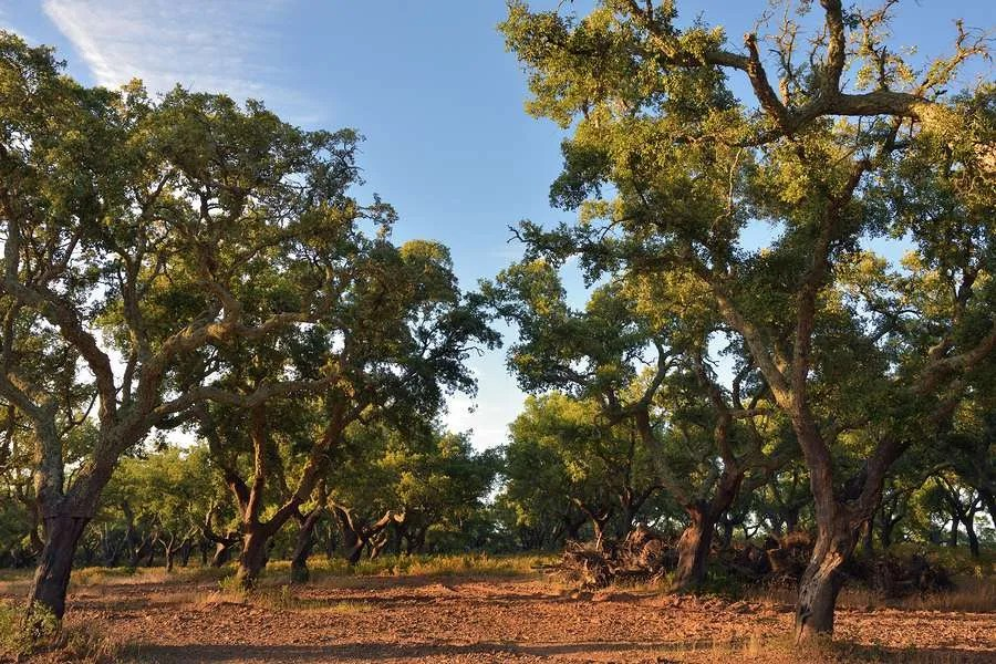 Beautiful cork forest in Alentejo Portugal