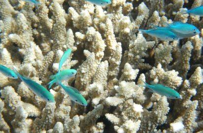 Cost of Great Barrier Reef bleaching: Aus$1 billion?