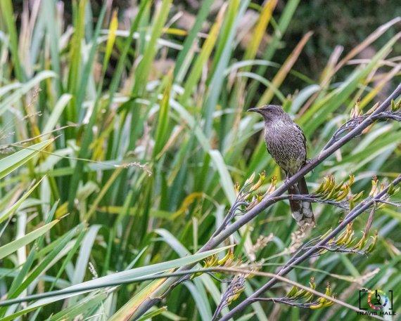 The Little Wattlebird, taken with Nikon D5300 and Tamron 150-600mm.