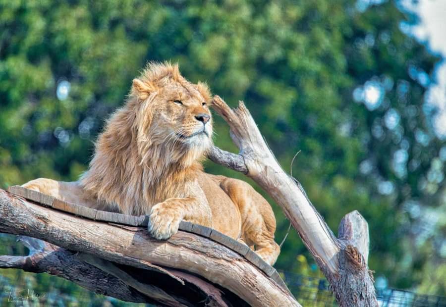 Lion (Melbourne Zoo)