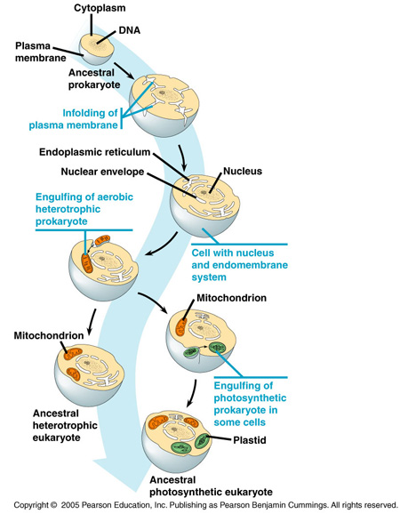 the endosymbiont hypothesis and the evolution Endosymbiotic theory in the hypothesis of endosymbiosis is at present the most widely accepted theory on the evolution of the the endosymbiont.