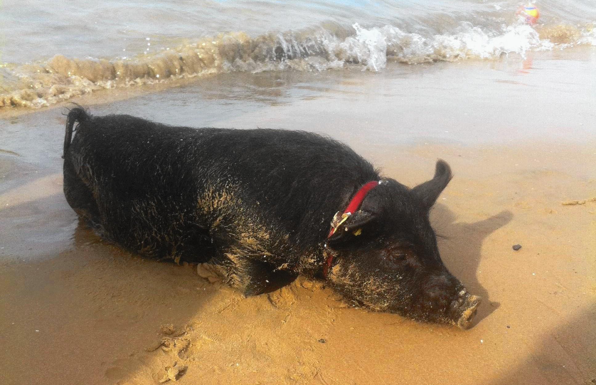 No Hogwash That Was A Pig At Montrose Dog Beach Chicago