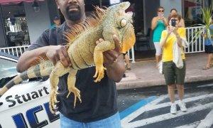 Stuart Police apprehend suspicious Iguana