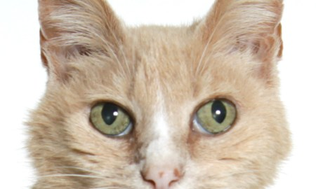 Ginger HSTC Pet of the week March 30