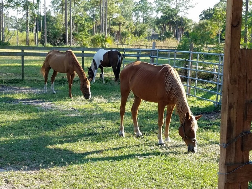 Seized horses from Okeechobee placed in Palm City Equine Rescue