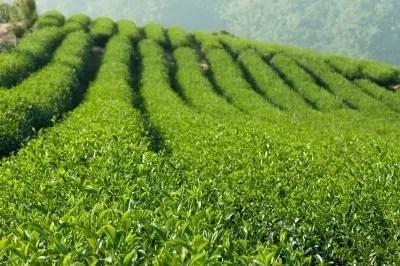 tea by freedigitalphotos.net/Keattikorn