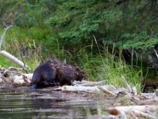 beaver by freedigitalphotos.net and puttsk