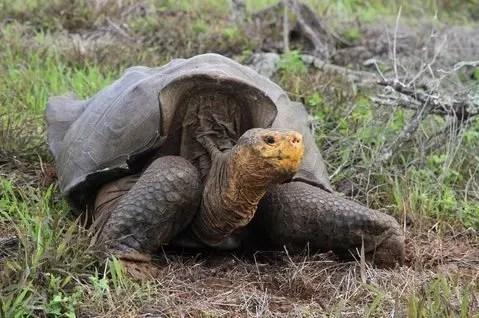 giant tortoise by James P. Gibbs, SUNY-ESF