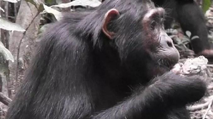 Chimpanzee eats clay by Anne Schel