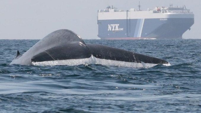 Blue Whales, shipping