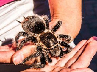 tarantula, phobia
