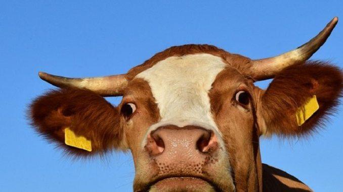 cow, cow avoidance