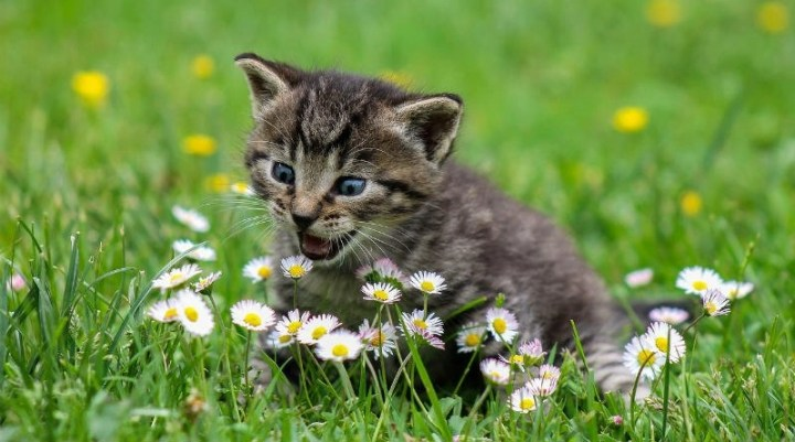Gato Mascotas