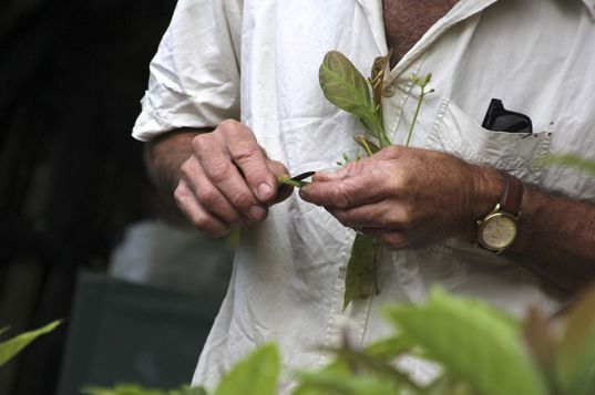 Demonstration of avocado grafting, Nelson Branch. Photo: David Wayne