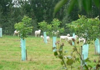 Sheep among young walnut trees
