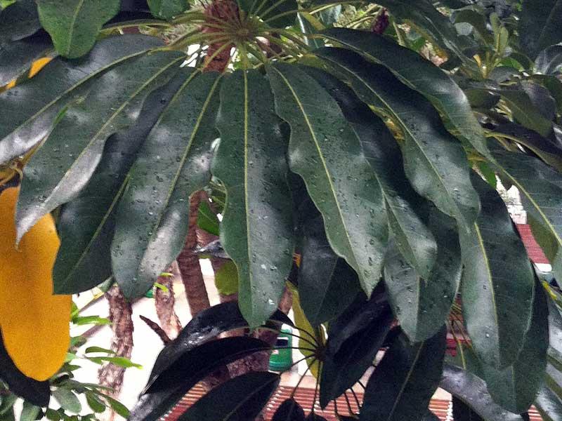 香港觀賞植物五加科 - treehk.comThe Green Touch 香港常見樹木園藝生活