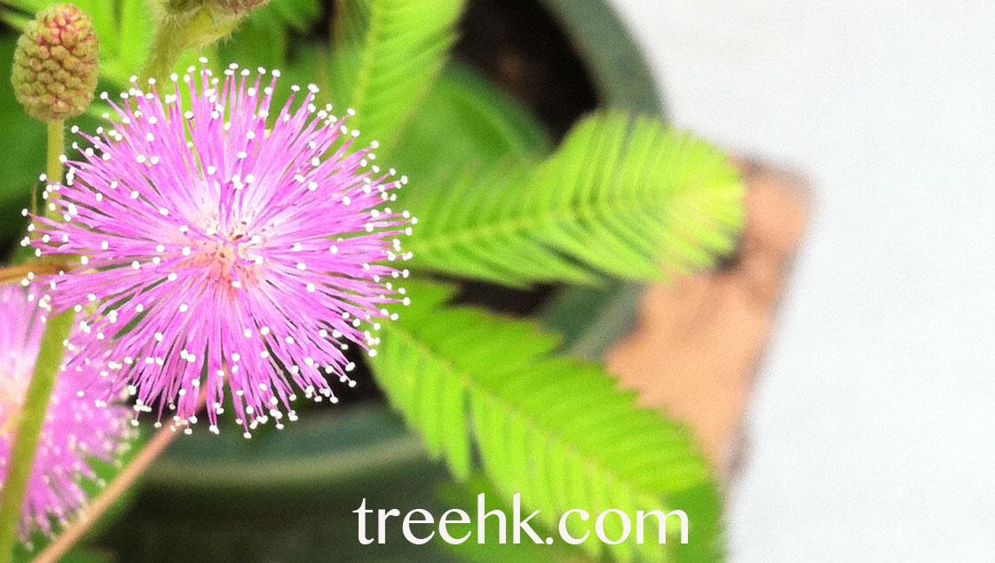 含羞草 怕醜草 Mimosa pudica - Green Touch 香港常見樹木園藝生活